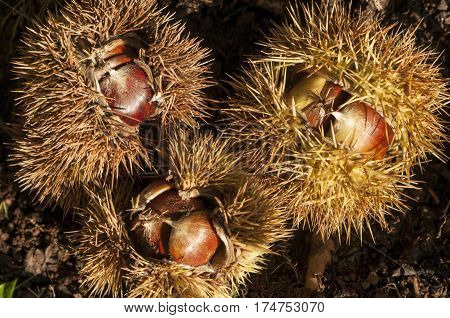 Edible nuts of chestnut tree Castanea of the beech family.