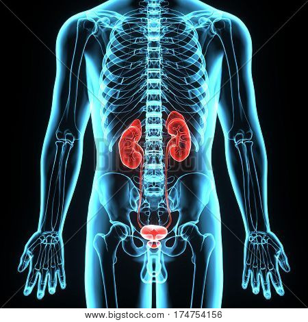 3D illustration of Human Body Organs (Kidneys with Urinary Bladder)
