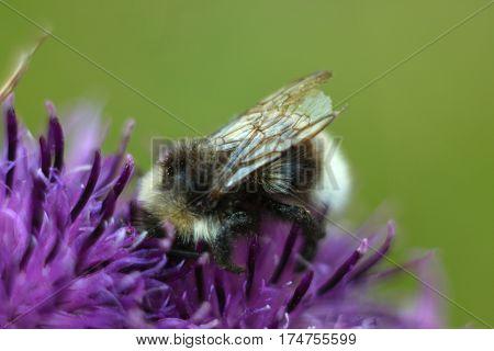 Bee sitting on violet flower of burdock. Beautiful green meadow. Macro.