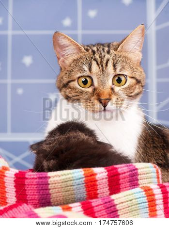 Cute adult tabby with little kittens over light-blue background