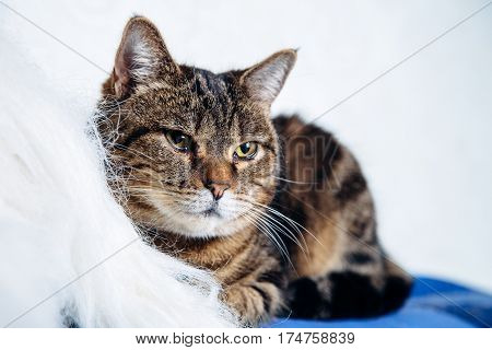 housecat tabby lying on a white background