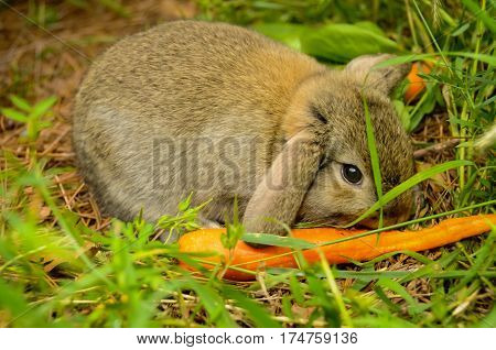 A small brown rabbit eating a carrot