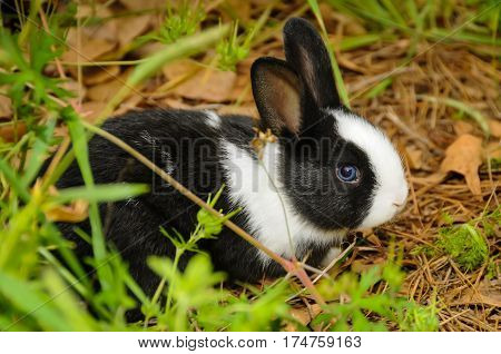 A black and white rabbit with in the grass