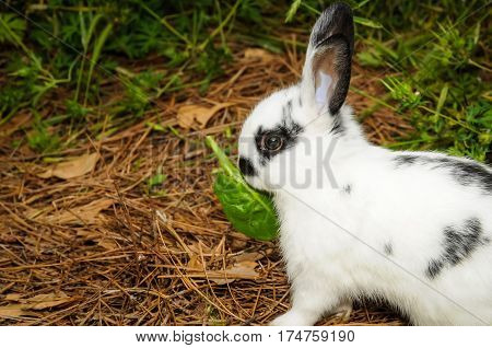 A spotted rabbit eating a green leaf