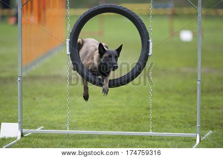 Dog in funny position trying to go through agility hoop. He is resting with one leg in the air like he is holding tyre. He has very long claws it is necessary to clip nails.
