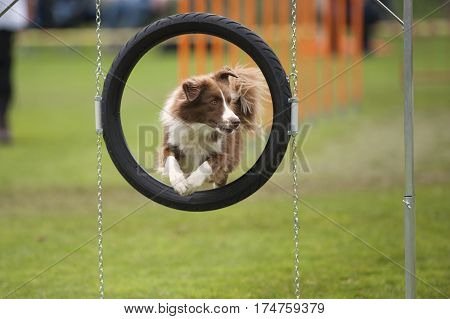 Nice jump of cute Border Collie. He is jumping over black agility hoop. Photography can be crop in circle with framed dog.