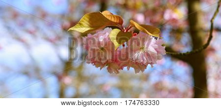 Beautiful cherry blossom isolated.Pink flowers of the cherry tree.