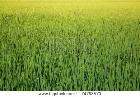 Green Rice Fild In Summer stock photo