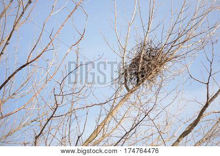 Crow Nest In A Tree