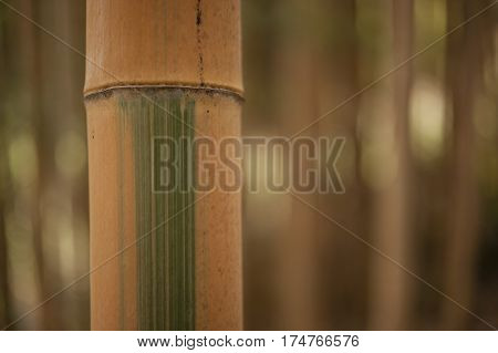 Detail of bamboo forest stalk with different green and yellow hues.