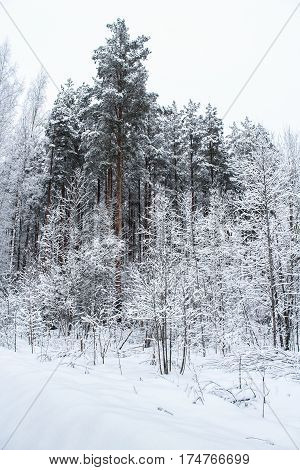 The dark trees in the winter forest. Winter snow-covered forest species of wild nature.