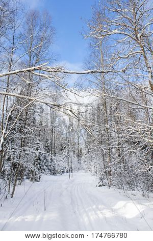 Bare winter trees in the forest. Winter snow-covered forest species of wild nature.