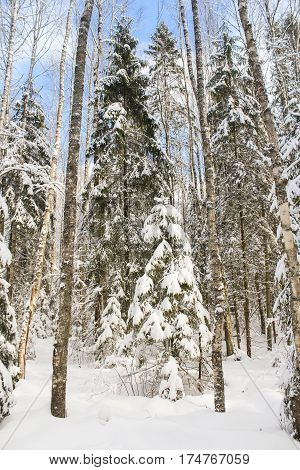 White trees in winter forest. Winter snow-covered forest species of wild nature.