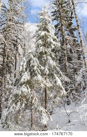 Wild winter forest. Winter snow-covered forest species of wild nature.