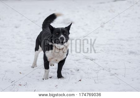 Black stocky mixed breed dog barking on a winter street ready to defend its territory