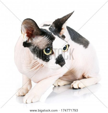 black and white Sphynx Cat isolated on white background