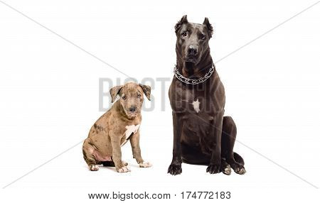 Adult dog and puppy pitbulls, sitting together, isolated on white background