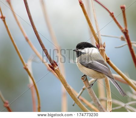 Black-capped Chikadee sitting on a branch in the winter