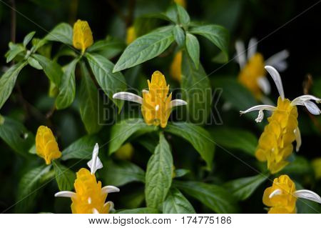 Their Rare yellow flowers on black background.