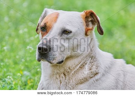 Close-up Portrait of Dog on the Lawn
