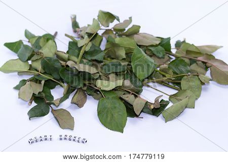Rose leaves on a white background. , Meaning heartbroken