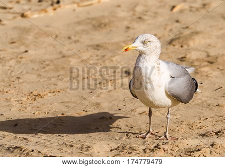 Seagull on the beach - waiting for something on the island of Usedom in Poland.