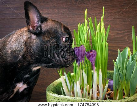 Dog smelling flowers. The black dog's snout purple crocuses