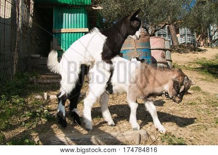 Funny animals: two baby goats in love