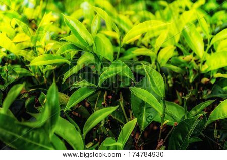 Tea leaves.Plantation in the beams of sunlight.Green leaf on bright and light green color blur background.Leaves tea at a plantation.