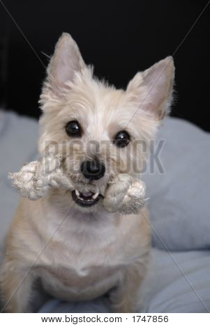 wheaton cairn terrier dog with favorite toy poster