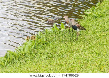 Southern Lapwing In Sao Bernardo Lake