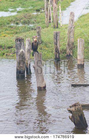 Neotropic Cormorants On The Lake