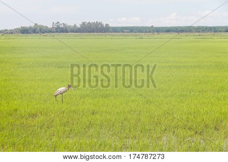 Wood Stork In A Rice Farm At Lagoa Do Peixe Lake