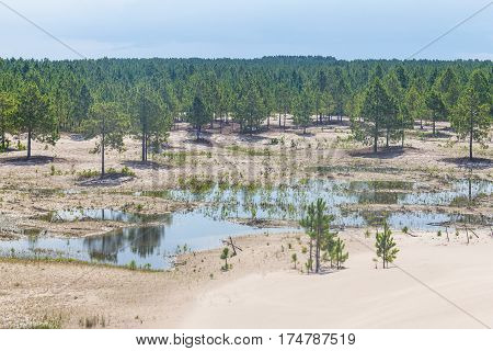 Pinus Elliottii And Common Rush At Lagoa Dos Patos Lake