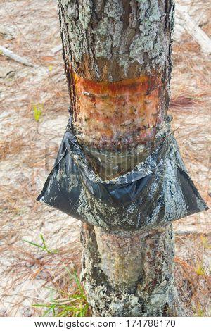 Pinus Elliottii Sap Extraction At Lagoa Dos Patos Lake