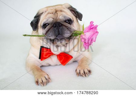 Pug with a red rouse a waiting for his girlfriend