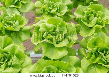 Butterhead Lettuce Salad Plant In The Hydroponic System
