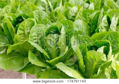 Green Cos Lettuce Salad Plant In The Hydroponic System