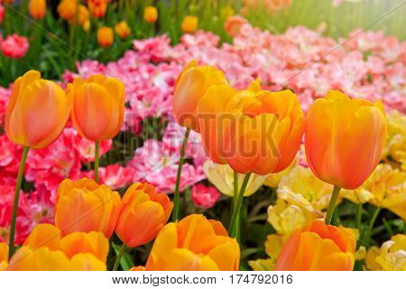 Beautiful orange tulips in the spring time. Flowers background.