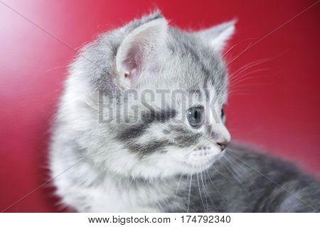 cute kitten on a red background. kitten portrait