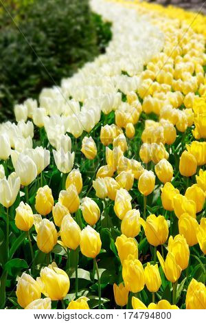 Beautiful white tulips in the spring time. Flowers background.