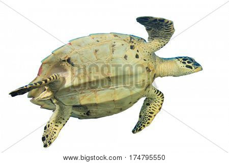 Turtle isolated. Hawksbill Sea Turtle on white background