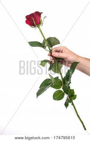 Man's hand holding a red rose, isolated on white background