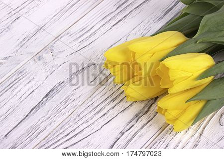 Yellow Spring Tulips On White Wooden Background. Place For Text. Womans Day. 8 March.