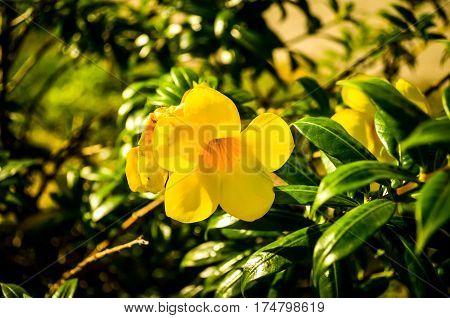 yellow buttercup allamanda flower blossom close up shot