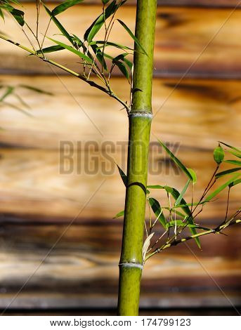 Bamboo Tree At The Garden