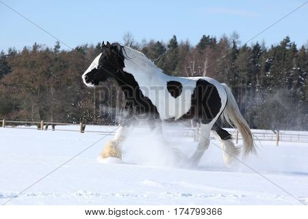 Amazing Stallion Of Irish Cob Running In Winter
