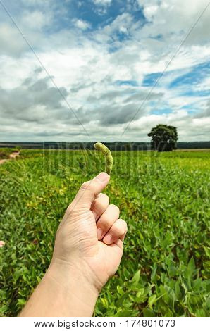 Hand holding a green soybean pod. In the background the soybean plantation on a rural and agriculture scene.