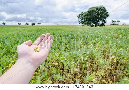 Soybean: Hand Holding And Showing Grains Of Soy