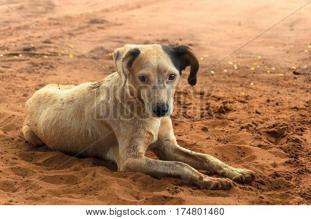 Dirty Farm Dog Lying On The Ground.